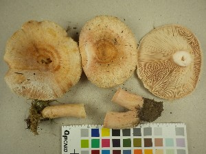 (Lactarius torminosus - O-DFL-1164)  @11 [ ] by-nc (2015) Unspecified University of Oslo, Natural History Museum