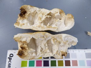 (Russula mustelina - O-F-22556)  @11 [ ] by-nc-sa (2017) Unspecified University of Oslo, Natural History Museum