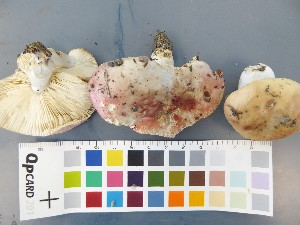 (Russula depallens - O-F-22561)  @11 [ ] by-nc-sa (2017) Unspecified University of Oslo, Natural History Museum