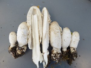 (Coprinus comatus - O-F-22565)  @11 [ ] by-nc-sa (2017) Unspecified University of Oslo, Natural History Museum