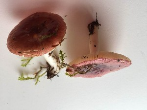 (Russula nitida - O-F-22572)  @11 [ ] by-nc-sa (2017) Unspecified University of Oslo, Natural History Museum