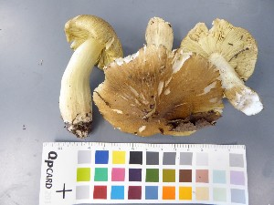 (Tricholoma equestre - O-F-22587)  @11 [ ] by-nc-sa (2017) Unspecified University of Oslo, Natural History Museum