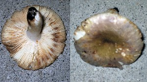 (Russula faustiana - O-DFL-2027)  @11 [ ] c (2015) Unspecified University of Oslo, Natural History Museum