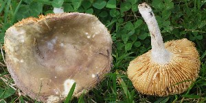 (Russula sp. NOBAS-4 - O-DFL-2033)  @11 [ ] c (2015) Unspecified University of Oslo, Natural History Museum