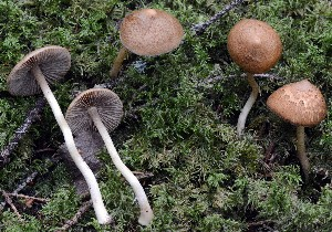 (Inocybe sp. NOBAS-1 - O-DFL-2038)  @11 [ ] c (2015) Unspecified University of Oslo, Natural History Museum