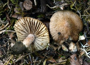 (Inocybe sp. PGL02 - O-DFL-2039)  @11 [ ] c (2015) Unspecified University of Oslo, Natural History Museum