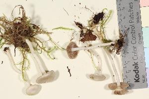 (Inocybe geophylla - TROM_F_26205)  @11 [ ] by-nc-sa (2016) Unspecified Tromsø University Museum