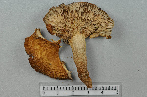 (Russula grata - VM-Bas024)  @11 [ ] Creative Commons – Attribution Non-Commercial Share-Alike (2016) NTNU University Museum, Department of Natural History NTNU University Museum, Department of Natural History