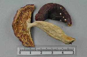 (Russula turci - VM-Bas034)  @11 [ ] Creative Commons – Attribution Non-Commercial Share-Alike (2016) NTNU University Museum, Department of Natural History NTNU University Museum, Department of Natural History
