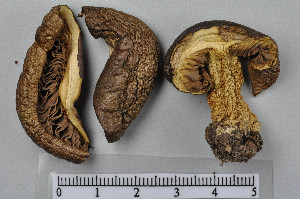 (Tricholoma equestre - VM-Bas048)  @11 [ ] Creative Commons – Attribution Non-Commercial Share-Alike (2016) NTNU University Museum, Department of Natural History NTNU University Museum, Department of Natural History