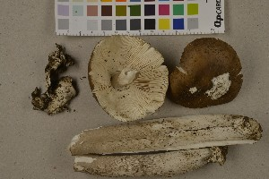 (Amanita ceciliae - NHMO-DFL-895)  @11 [ ] by-nc-sa (2015) Unspecified University of Oslo