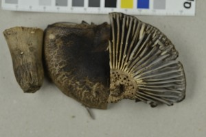 (Russula nigricans - NHMO-DFL-976)  @11 [ ] by-nc-sa (2015) Unspecified University of Oslo