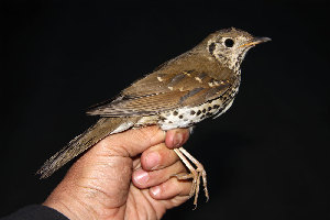 (Turdus mupinensis - NHMO-35915)  @11 [ ] Unspecified (default): All Rights Reserved  Unspecified Unspecified
