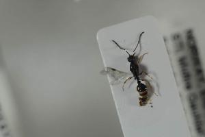 (Leptothorax kutteri - HYMNI1083)  @11 [ ] CC-NC-SA (2015) Arnstein Staverlokk Norwegian Institute of Nature Research