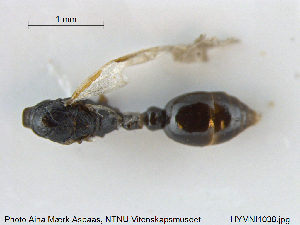 (Leptothorax kutteri - HYMNI1038)  @11 [ ] Creative Commons – Attribution Non-Commercial Share-Alike (2015) NTNU University Museum, Department of Natural History NTNU University Museum, Department of Natural History