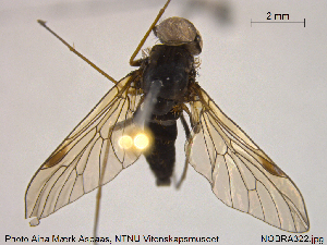 (Rhagio notatus - NOBRA322)  @11 [ ] Creative Commons – Attribution Non-Commercial Share-Alike (2015) NTNU University Museum, Department of Natural History NTNU University Museum, Department of Natural History