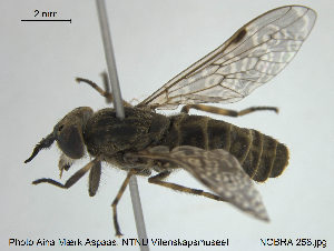 (Haematopota pluvialis - NOBRA 258)  @14 [ ] CreativeCommons - Attribution Non-Commercial Share-Alike (2015) NTNU University Museum, Department of Natural History NTNU University Museum, Department of Natural History