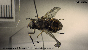 (Tabanus glaucopis - NOBRA 280)  @14 [ ] CreativeCommons - Attribution Non-Commercial Share-Alike (2015) NTNU University Museum, Department of Natural History NTNU University Museum, Department of Natural History
