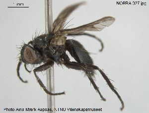 (Rhinophoridae - NOBRA 327)  @14 [ ] CreativeCommons - Attribution Non-Commercial Share-Alike (2015) NTNU University Museum, Department of Natural History NTNU University Museum, Department of Natural History