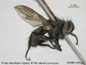 (Rhinophoridae - NOBRA 329)  @14 [ ] Creative Commons – Attribution Non-Commercial Share-Alike (2015) NTNU University Museum, Department of Natural History NTNU University Museum, Department of Natural History