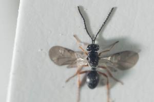 (Ismaridae - NOPAR91)  @11 [ ] CC-NC-SA (2014) Arnstein Staverlokk Norwegian Institute of Nature Research