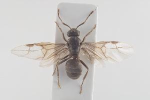 (Lasius umbratus - NOFOR113)  @14 [ ] CreativeCommons - Attribution Non-Commercial Share-Alike (2014) Arnstein Staverlokk Norwegian Institute of Nature Research