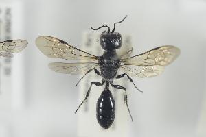 (Pemphredon lugubris - NOFOR163)  @14 [ ] CreativeCommons - Attribution Non-Commercial Share-Alike (2014) Arnstein Staverlokk Norwegian Institute of Nature Research