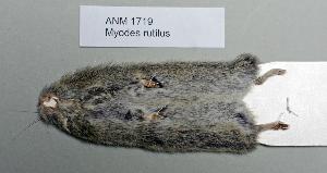 (Myodes rutilus - NOMAM-041)  @13 [ ] Unspecified (default): All Rights Reserved  Unspecified Unspecified