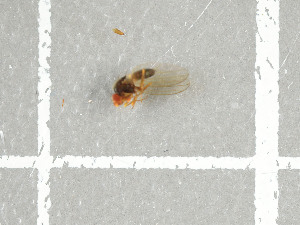 (Drosophila sp. GS01 - NHMO-DAR-11724)  @11 [ ] by-nc-sa (2016) Unspecified University of Oslo, Natural History Museum
