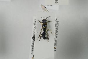 (Crossocerus tarsatus - NOSPH300)  @12 [ ] CC-NC-SA (2014) Arnstein Staverlokk Norwegian Institute of Nature Research