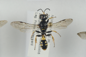 (Crossocerus subulatus - NOSPH311)  @14 [ ] CC-NC-SA (2014) Arnstein Staverlokk Norwegian Institute of Nature Research