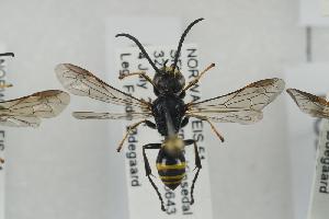 (Gorytes laticinctus - NOSPH410)  @14 [ ] CC-NC-SA (2014) Arnstein Staverlokk Norwegian Institute of Nature Research