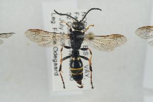(Gorytes quadrifasciatus - NOSPH413)  @13 [ ] CreativeCommons - Attribution Non-Commercial Share-Alike (2014) Arnstein Staverlokk Norwegian Institute of Nature Research