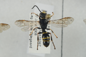 (Gorytes quadrifasciatus - NOSPH414)  @14 [ ] CC-NC-SA (2014) Arnstein Staverlokk Norwegian Institute of Nature Research