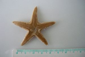 (Astropecten irregularis 1 - MT00143)  @14 [ ] CreativeCommons - Attribution Non-Commercial Share-Alike (2012) Silke Laakmann German Center for Marine Biodiversity Research, Senckenberg am Meer