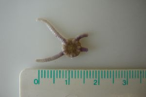 (Ophiura albida - MT00189)  @13 [ ] CreativeCommons - Attribution Non-Commercial Share-Alike (2012) Silke Laakmann German Center for Marine Biodiversity Research, Senckenberg am Meer