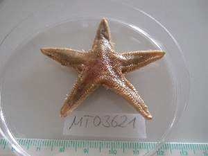 (Astropecten irregularis 2 - MT03621)  @14 [ ] CreativeCommons - Attribution Non-Commercial Share-Alike (2012) Silke Laakmann German Center for Marine Biodiversity Research, Senckenberg am Meer