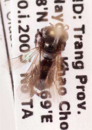 (Heterotrigona - CCDB-30344 D12)  @11 [ ] CreativeCommons - Attribution by Laurence Packer (2015) Laurence Packer York University