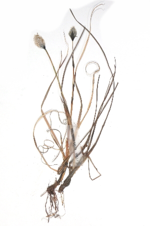 (Eriophorum scheuchzeri - CCDB-23966-H08)  @11 [ ] CreativeCommons - Attribution Non-Commercial Share-Alike (2015) BIO Photography Group Biodiversity Institute of Ontario