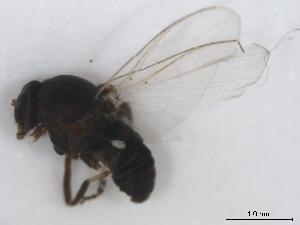 (Simulium metallicum s.l - BIOUG01375-D07)  @14 [ ] CreativeCommons - Attribution Non-Commercial Share-Alike (2011) BIO Photography Group Biodiversity Institute of Ontario