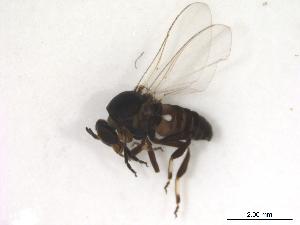 (Simulium metallicum s.l - BIOUG01376-D11)  @14 [ ] CreativeCommons - Attribution Non-Commercial Share-Alike (2011) BIO Photography Group Biodiversity Institute of Ontario