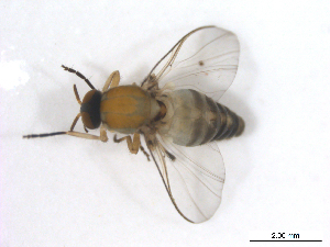 (Simulium callidum - BIOUG01376-F02)  @14 [ ] CreativeCommons - Attribution Non-Commercial Share-Alike (2011) BIO Photography Group Biodiversity Institute of Ontario