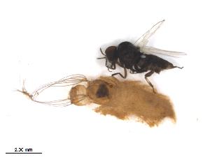(Simulium metallicum s.l - BIOUG01378-G04)  @14 [ ] CreativeCommons - Attribution Non-Commercial Share-Alike (2011) BIO Photography Group Biodiversity Institute of Ontario