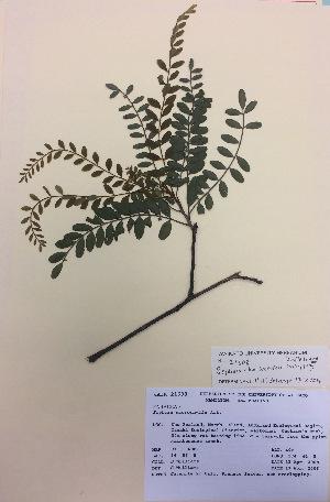 (Sophora chathamica - NZANG001)  @11 [ ] copyright (2016) CEC Gemmill University of Waikato