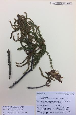 (Sophora fulvida - NZANG002)  @11 [ ] copyright (2016) CEC Gemmill University of Waikato