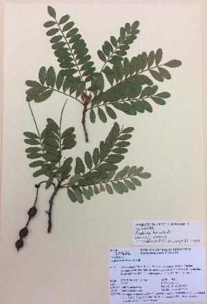 (Sophora howinsula - NZANG004)  @11 [ ] copyright (2016) CEC Gemmill University of Waikato