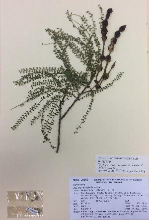 (Sophora longicarinata - NZANG005)  @11 [ ] copyright (2016) CEC Gemmill University of Waikato