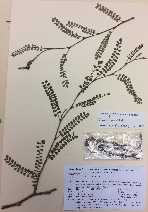 (Sophora microphylla - NZANG007)  @11 [ ] copyright (2016) CEC Gemmill University of Waikato