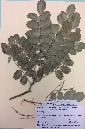 (Sophora tomentosa - NZANG010)  @11 [ ] copyright (2016) CEC Gemmill University of Waikato