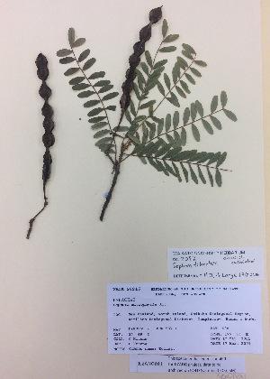 (Sophora tetraptera - NZANG011)  @11 [ ] copyright (2016) CEC Gemmill University of Waikato